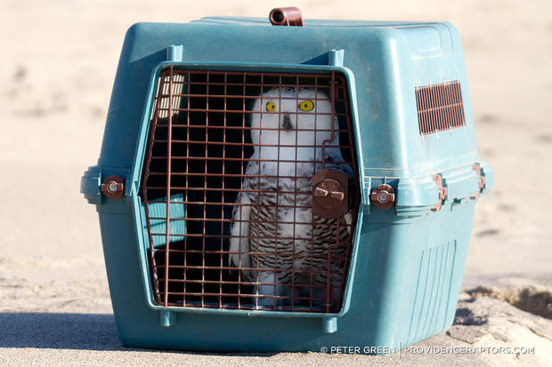 Saving the snowy owl