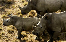 Permit to hunt endangered rhino sold for $350,000