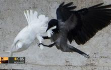 Doves released at Vatican attacked by crow and seagull