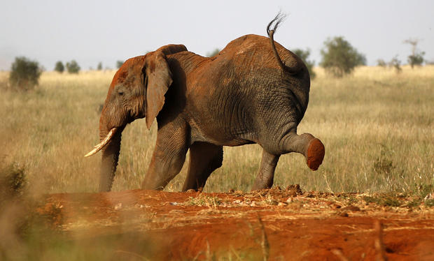 Elephant census