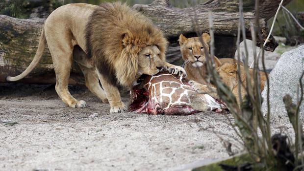 Resultado de imagem para giraffe killed zoo