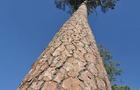 loblolly-pine-620.jpg