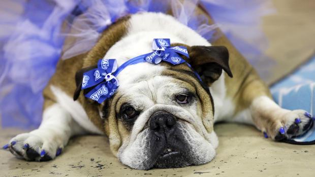 beautifulbulldogsstella.jpg