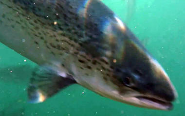 Salmon farms: Helping or hurting wild salmon?