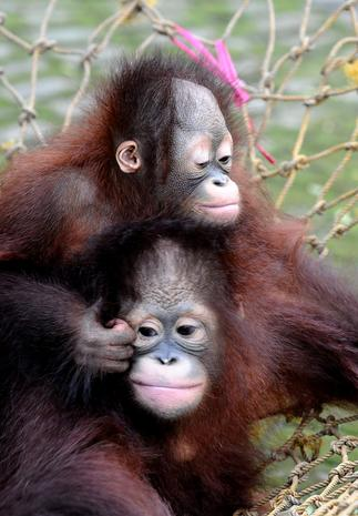 Orangutan brothers Damai and Rizki
