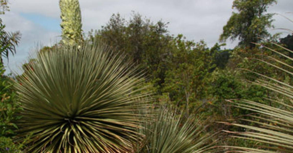 Rare Giant Plant Set To Show Off Once A Century Bloom Cbs News