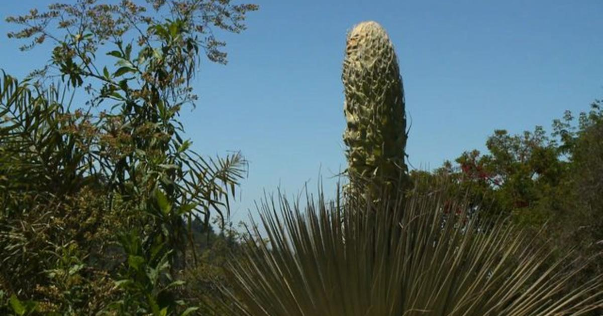Rare '100-year' flower blooms in California