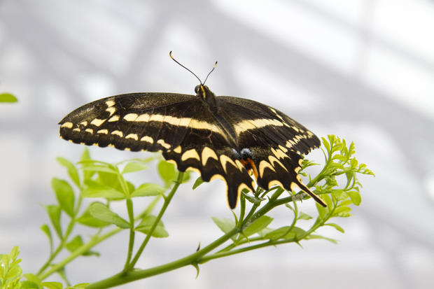 Life cycle of rare Schaus' swallowtail butterflies