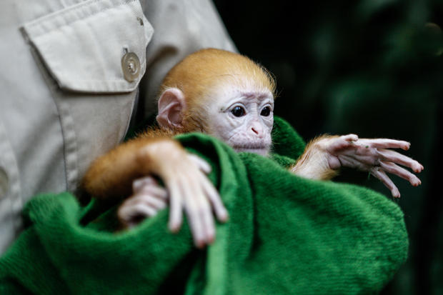 Bali Zoo welcomes adorable newborn Javan