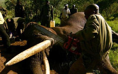 Preview: Are poachers pushing elephants to extinction?
