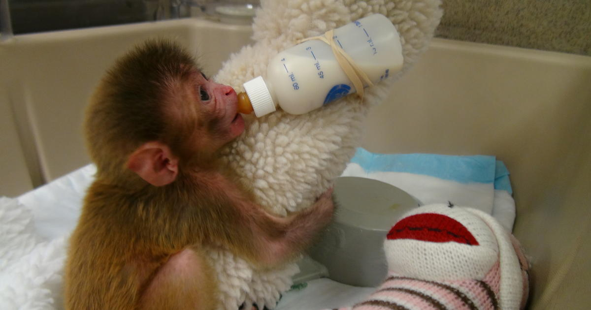 Nih Lab Led By Stephen Suomi To Stop Baby Monkey