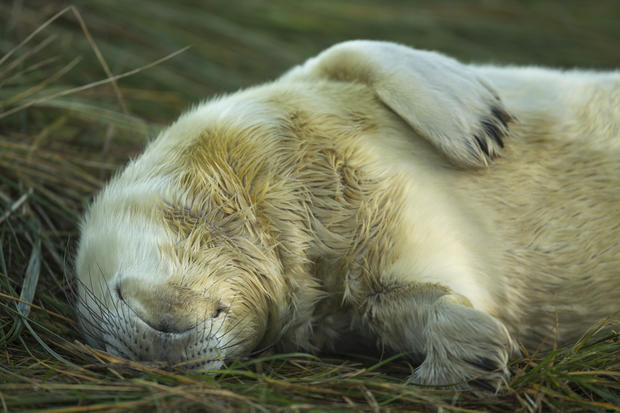 The seal pups of Yorkshire