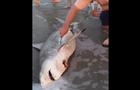 dead shark c-section