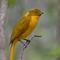 bowerbird-golden-d423241.jpg