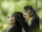 snub-nosed-monkeys-jacky-poon-7990.jpg
