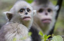 China's rare snub-nosed monkeys