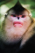 snub-nosed-monkeys-shen-cheng-350.jpg