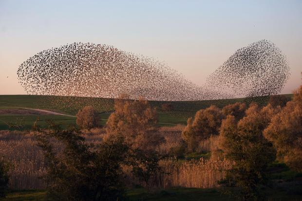 Starlings dance across the winter sky