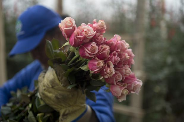 Harvesting flowers for Valentine's Day