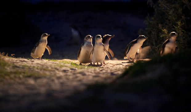 A patch of oil the size of a thumbnail can kill a little penguin. Oiled penguins often die from exposure and starvation. Oil separates and mats feathers, allowing water to get in, which makes a penguin very cold, heavy and less able to successfully hunt f