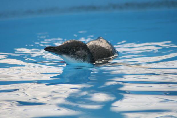 A rehabilitated penguin swims.