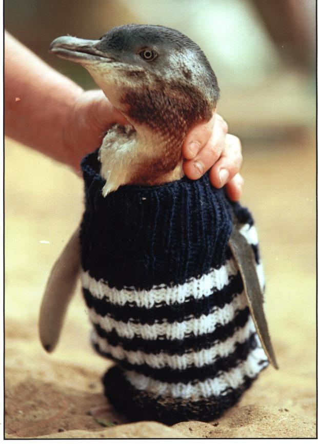 """A penguin wears a small """"jumper"""" knit by a volunteer."""