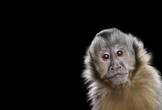 capuchinmonkey2.jpg