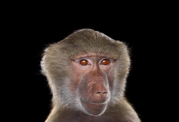 baboon4.jpg