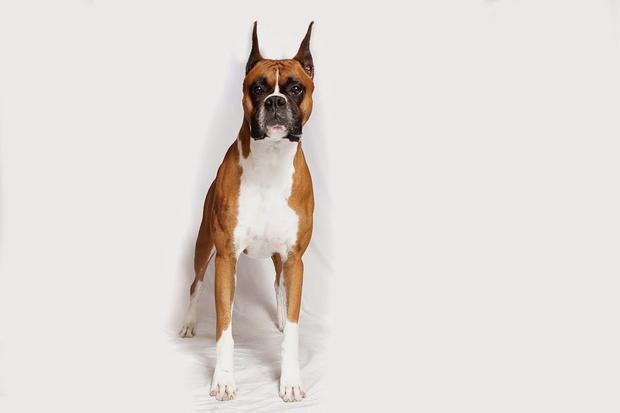 boxer1akc.jpg