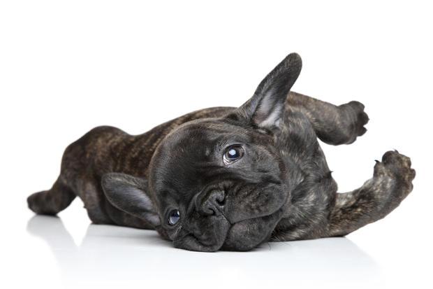 french-bulldog2istock.jpg
