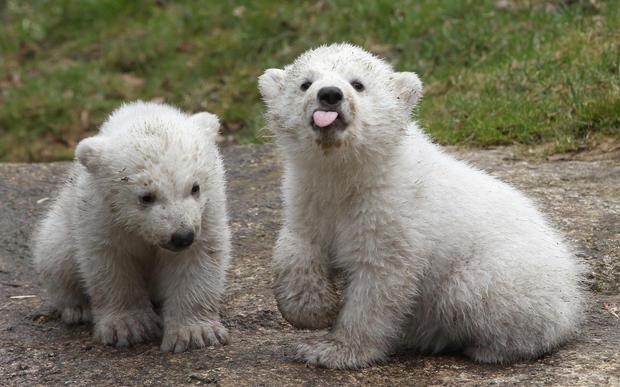 polar-bears18getty.jpg