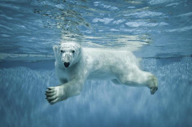 polar-bears36istock.jpg