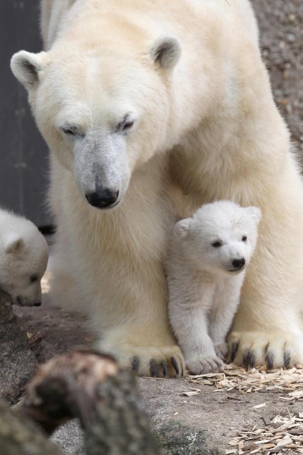polar-bears22getty.jpg