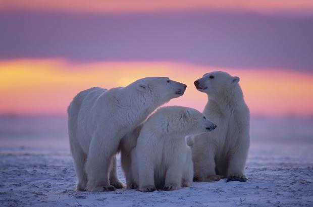 polar-bears15istock.jpg