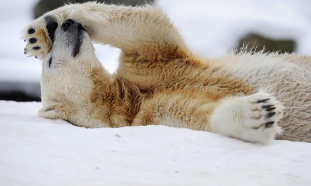 polar-bears07getty.jpg