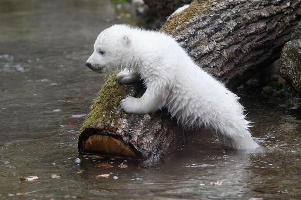 polar-bears21getty.jpg