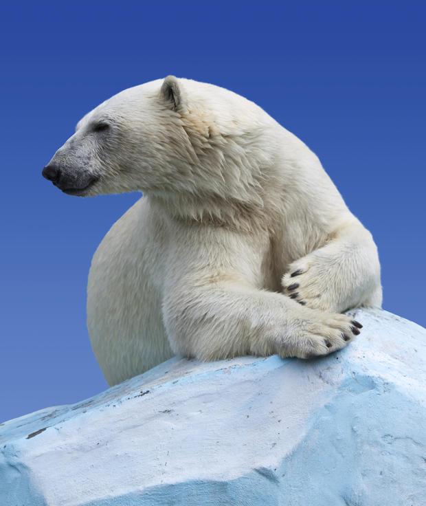 polar-bears26istock.jpg