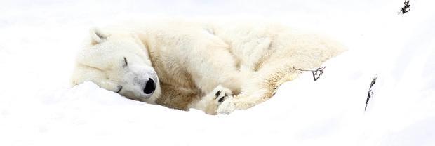 polar-bears06getty.jpg