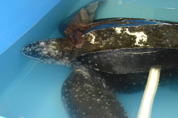 csouth-carolina-aquarium-sea-turtle-rescue-program-leatherback-sea-turtle-weight-check-and-antibiotic-injections-march-2015-101.jpg