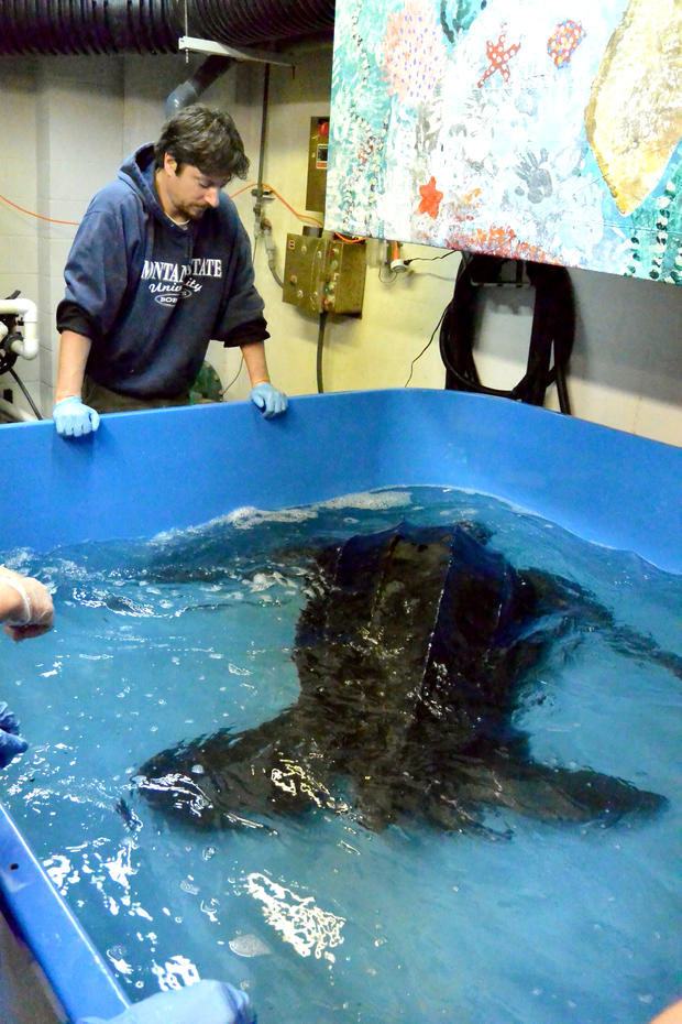 south-carolina-aquarium-sea-turtle-rescue-program-leatherback-sea-turtle-march-2015-65.jpg