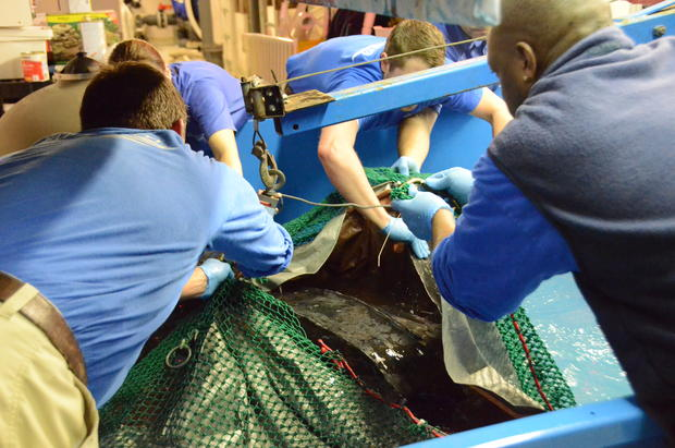csouth-carolina-aquarium-sea-turtle-rescue-program-leatherback-sea-turtle-weight-check-and-antibiotic-injections-march-2015-16.jpg