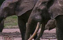 Secret Language of Elephants