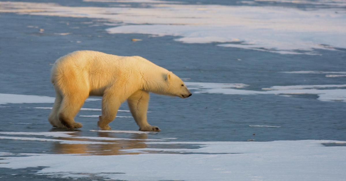 Polar bear killed after attacking cruise ship employee