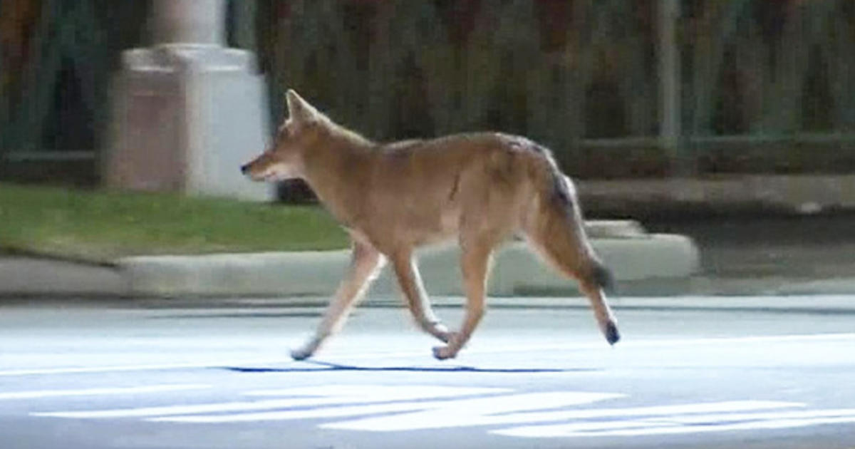 Police On Alert For Coyotes Spotted In New York City And