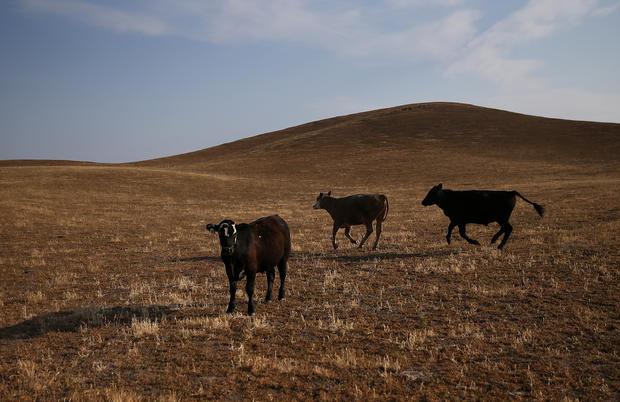 cattle470892820.jpg