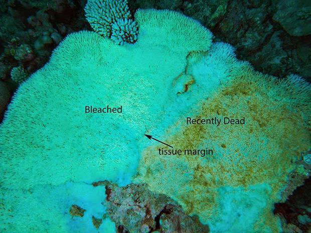 bleaching-mortality-in-acropora-cytherea.jpg