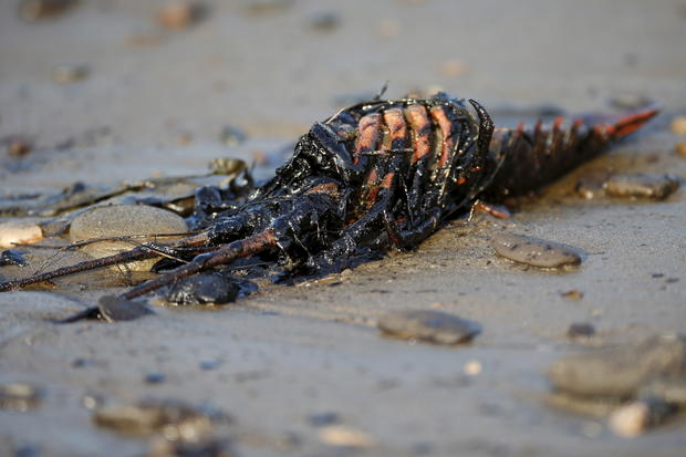 Animals of the California oil spill