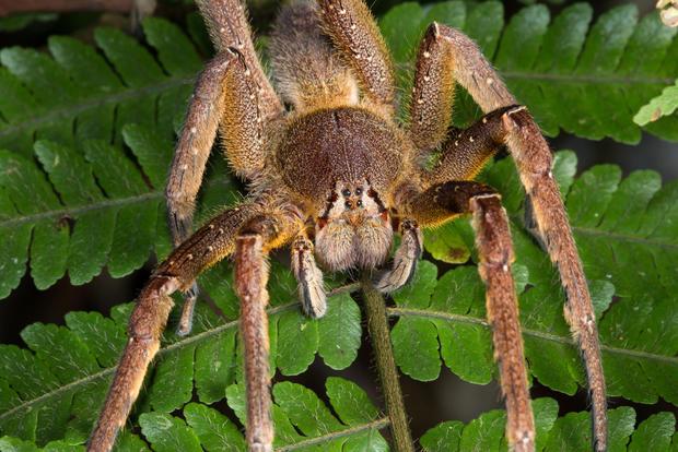 brazilian-wandering-spider.jpg
