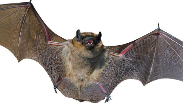 8 need rabies shots after child brings bat to school in montana cbs news - Picture Of A Bat