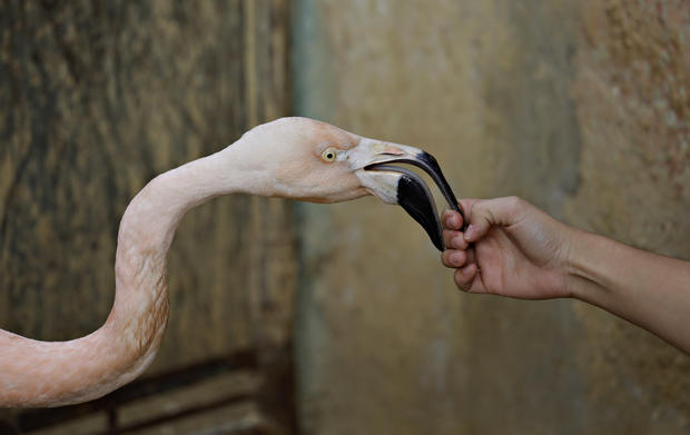 Flamingo gets a new leg to stand on